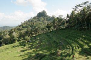 Bali, rice tarrase